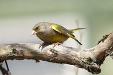 Free Greenfinch On Branch Stock Photography - 24617432