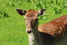 Free Young Deer Stock Images - 24619934