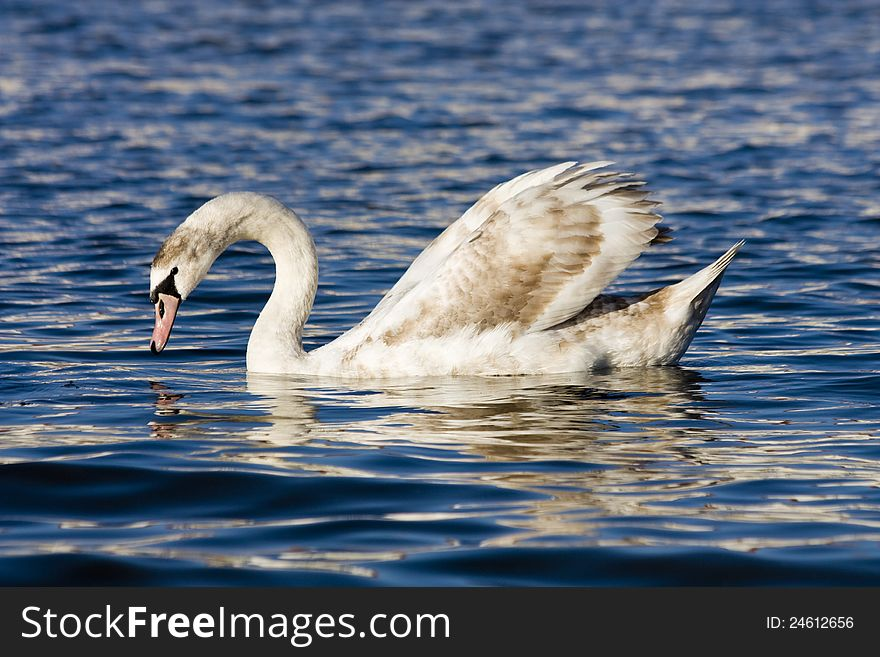 Swan on the river