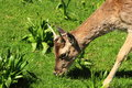 Free Young Deer Stock Photo - 24620170