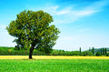 Free Lonely Tree On Wheat Field Stock Image - 24621071