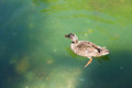 Free Duck Is Swimming In The Green Pond Royalty Free Stock Images - 24629909