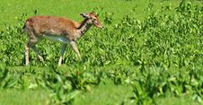 Free Young Deer Royalty Free Stock Photography - 24620227