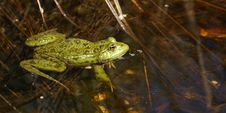 Free Frog Stock Images - 24620424
