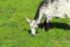 Free Goat Royalty Free Stock Photography - 24620527