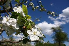 Free Apple Tree Flowers Royalty Free Stock Photo - 24621775
