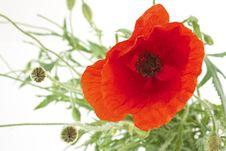 Free Closeup Of Poppy Stock Image - 24626161