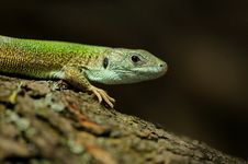 Free Lizard On A Peace Of Wood Royalty Free Stock Images - 24626359