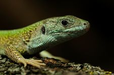 Free Western Green Lizard &x28;Lacerta Bilineata&x29; Royalty Free Stock Photography - 24626437