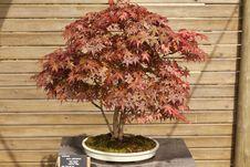 Free Acer Palmatum Bonsai Royalty Free Stock Photography - 24626637
