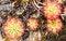 Free Drosera Tokaiensis Carnivorous Plant Stock Photos - 24627553
