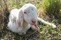 Free Lamb Royalty Free Stock Photography - 24635757