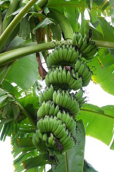 Free Bananas On A Tree. Stock Photos - 24630203