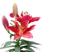 Free Beautiful Lily Flowers. Royalty Free Stock Photography - 24630207