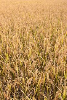Free Rice Stock Images - 24631434