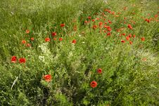 Free Red Poppies Royalty Free Stock Image - 24631996