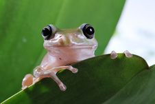 Free Tree Frog Stock Photo - 24635470