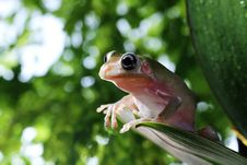 Free Tree Frog Stock Image - 24635551