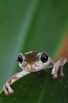 Free Tree Frog Stock Photos - 24635633