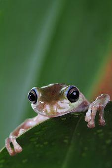 Free Tree Frog Stock Photos - 24635633