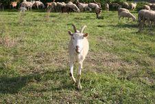 Free Goat Stock Image - 24636021