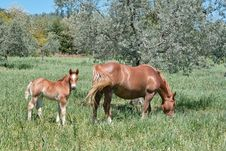Free Mare With Foal Royalty Free Stock Photos - 24637978