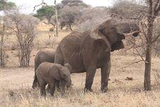 Free Elephant Family Stock Image - 24638181