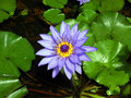 Free Purple Waterlily Flower Royalty Free Stock Image - 24644966