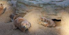 Funny Marmot Family Stock Image