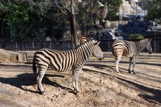 Free Two Zebras Standing Out In The Sun Stock Images - 24640574