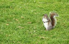Free Squirrel In A Grass Royalty Free Stock Photo - 24640605