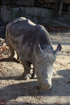 Free Big Rhino Standing Out In The Sun Royalty Free Stock Image - 24640616