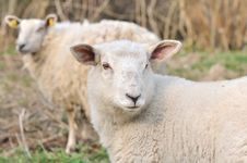 A Lamb And A Sheep Stock Images