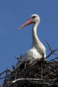 Free White Stork Royalty Free Stock Photo - 24645595