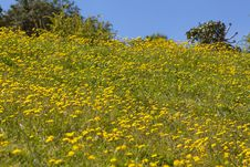 Free Field Of Daisies Stock Photo - 24645770