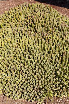 Free Euphorbia Resinifera Royalty Free Stock Image - 24647256