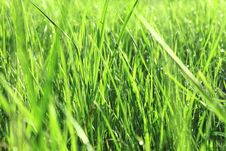 Free Green Grass With Dew In The Morning Stock Photos - 24649323