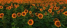 Sunflower Field In Warm Evening Light Royalty Free Stock Photography