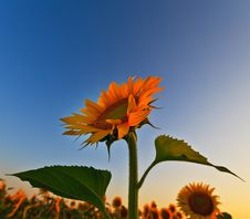 Free Sunflower Field In Warm Evening Light Stock Photography - 24649942