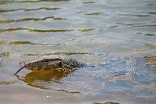 Closeup Of Lizard - Varanus Royalty Free Stock Image