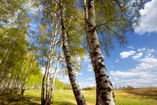 Free Forest Birch Stock Photos - 24652723