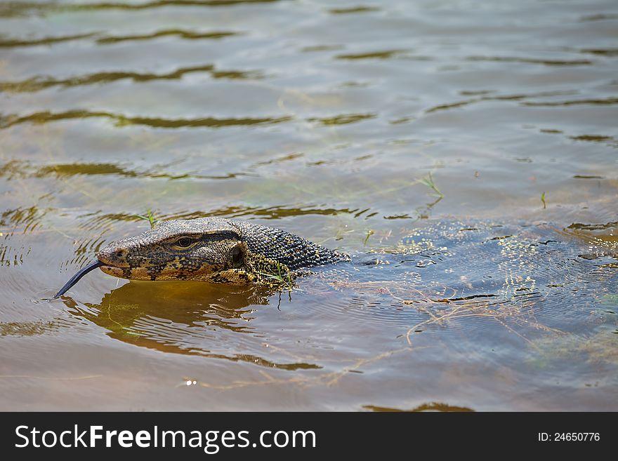 Closeup of lizard - Varanus