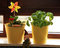 Free Basil And Rose And Dwarf On The Windowsill Royalty Free Stock Photography - 24653337