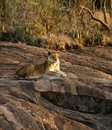 Free Lioness In Waiting Stock Photography - 24666792