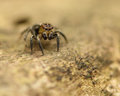 Free Jumping Spider On Log Royalty Free Stock Photo - 24669555