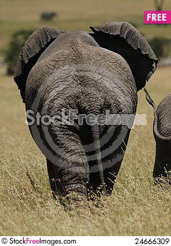 Free Elephant Ears Royalty Free Stock Images - 24666309