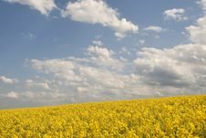 Free Rape Field Stock Images - 24660844