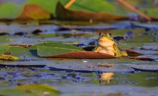 Free Green Frog On A Leaf Stock Image - 24664101