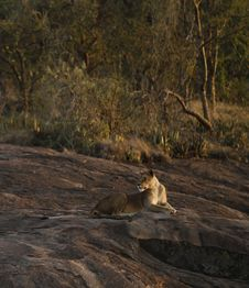 Free Panthera Leo Stock Image - 24666471