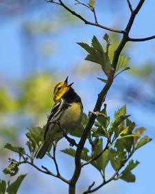 Free Black-throated Green Warbler Singing Stock Photo - 24669370